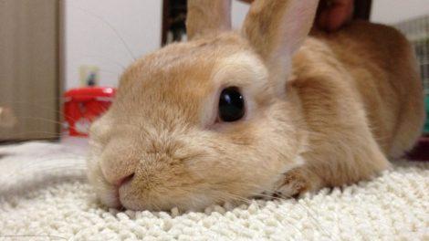 ウサギ寝姿